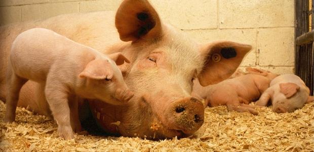 cochon-porc