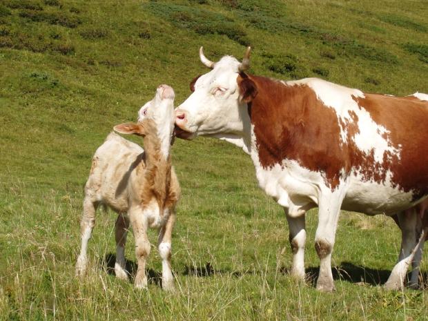 la-vache-et-son-veau-dans-les-alpages.jpg