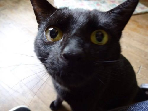 Chatte noire vid