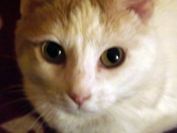 Chatte blanche et beige soignée pour un calcivirus