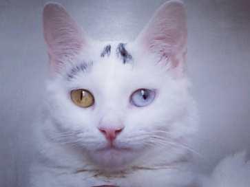 Robin jeune chatte victime de convulsions, blanche aux yeux vairons