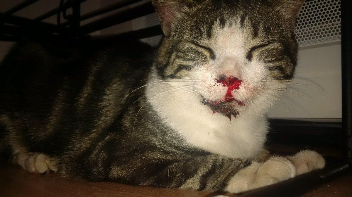 Aydan, chat accidenté, nez en sang, mâchoire fêlée