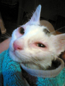 Robin, jeune chatte qui a failli mourir du coryza